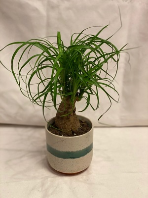 "4"" PONY TAIL PALM from Redwood Florist in New Brunswick, NJ"