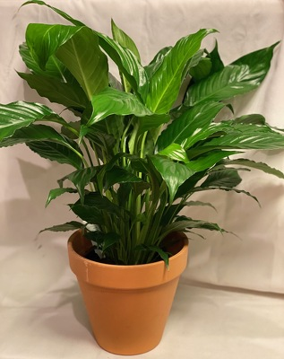 "6"" SPATH - PEACE LILY PLANT from Redwood Florist in New Brunswick, NJ"