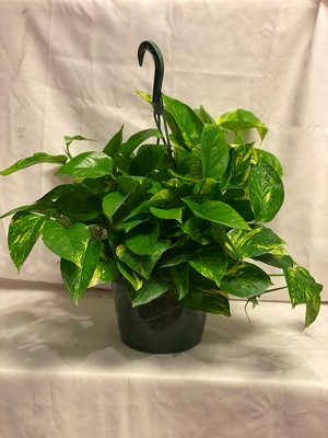 "8"" HANGING POTHOS from Redwood Florist in New Brunswick, NJ"