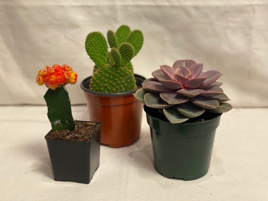 3 OF ASSORTED SUCCULENTS & CACTI from Redwood Florist in New Brunswick, NJ